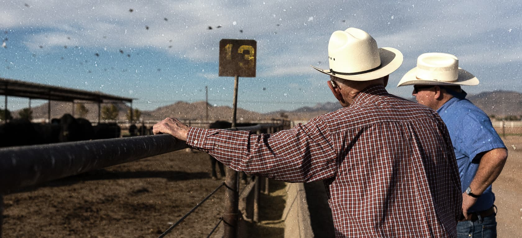 producers watching cattle